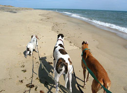 pet friendly beach:  south beach marthas vineyard